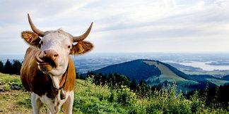 Tödliche Kuhattacke auf Wanderin: Tipps zum Umgang mit Weidevieh  - ©Chiemgau Tourismus e.V.