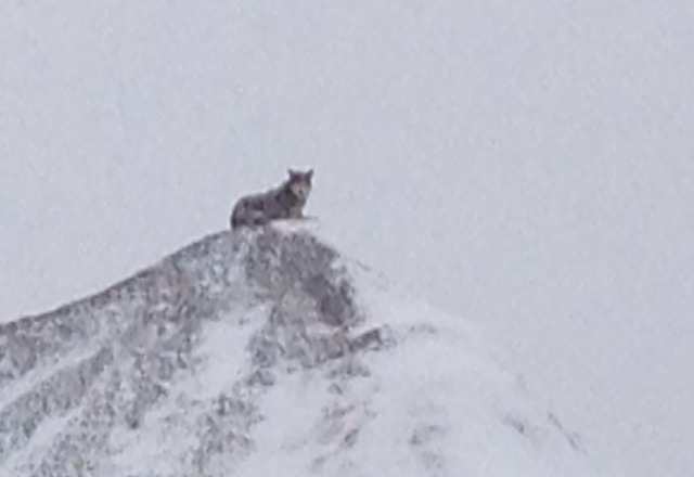 timber wolf at bottem of ski hill road, just chilln on a dirt pile