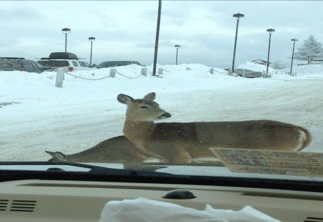 deer in the parking lot top of the world.