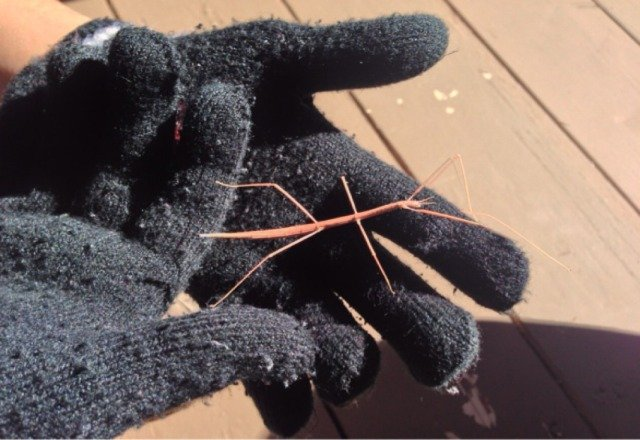 My first stickbug. Thanks Snowbowl!