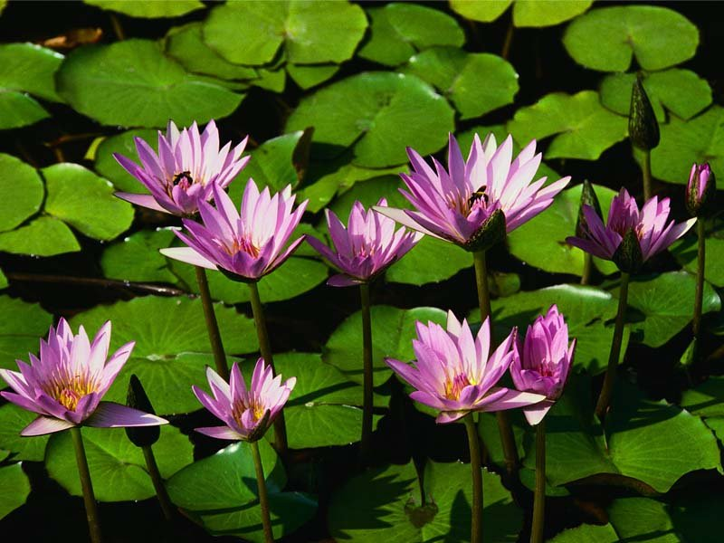 Water lilies - ©Kelly Canyon Ski Area