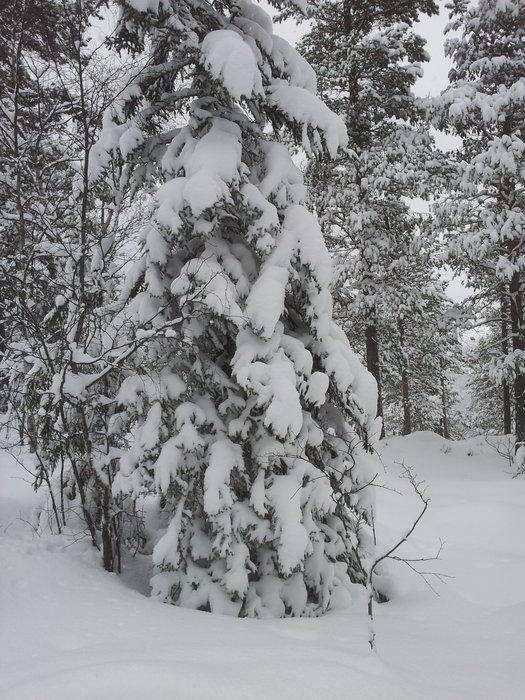 skogen nr 3 - ©NORsnowpowder9 @ Skiinfo Lounge