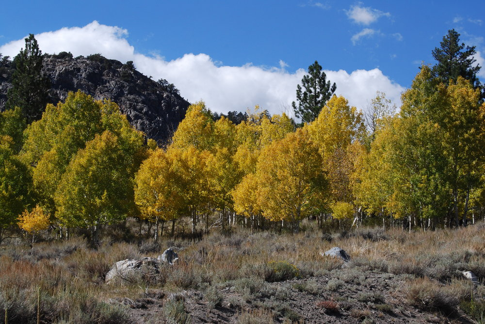 Trees in fall at June Lake loop.