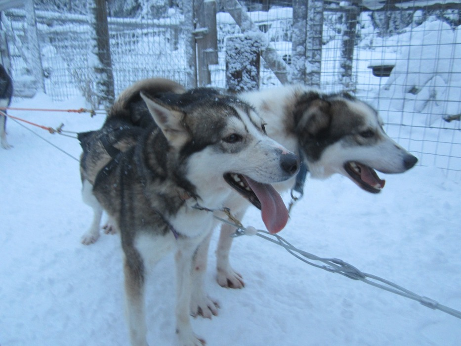 Dog sledding in Lapland