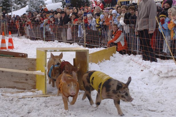 Pig race at Klosters - ©Davos Klosters Tourismus