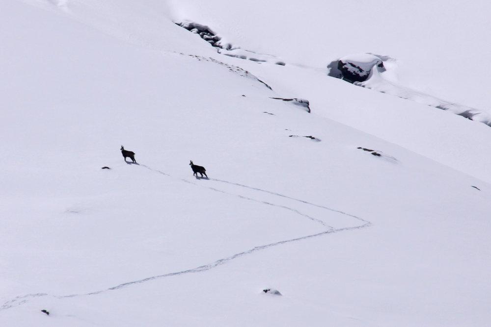 Tierische Begleitung auf der Skitour