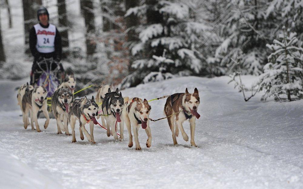 Hundeschlitten im Skigebiet Todtmoos - © Tourist-Information Todtmoos