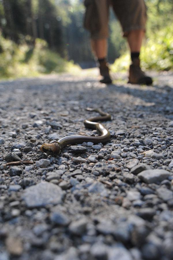 Eine Blindschleiche kreuzte gleich zu Beginn unseren Weg - © bergleben.de