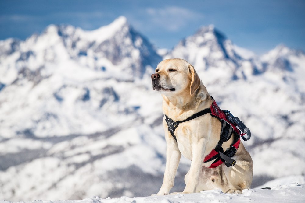 Patrol pooch takes a break in the sun on a Mammoth powder day. - © Peter Morning/MMSA
