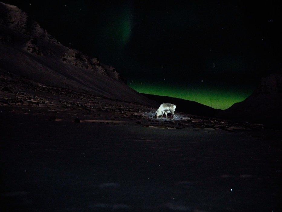 Beitende rein i nordlys, opplyst av hodelykt. - © Vigdis Skogly
