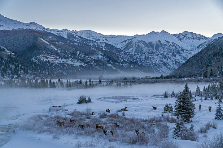 Herds of elk can often be spotted grazing on Telluride's Valley Floor. - © Visit Telluride/Ryan Bonneau