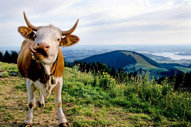 Kuh auf der Alm im Chiemgau - ©Chiemgau Tourismus e.V.