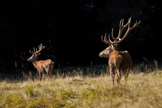 Parco Paneveggio, Pale di San Martino - Autunno in Trentino per ascoltare il bramito del cervo in amore  - © @Visittrentino - M. Simonini